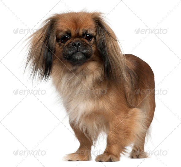 Pekingese, 2 and a half years old, standing in front of white background - Stock Photo - Images