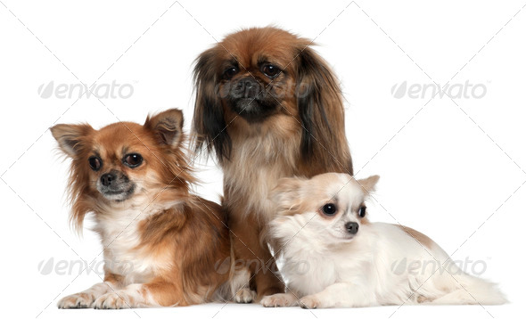Chihuahuas and Pekingese, 1, 2, and 2 and a half years old, in front of white background - Stock Photo - Images
