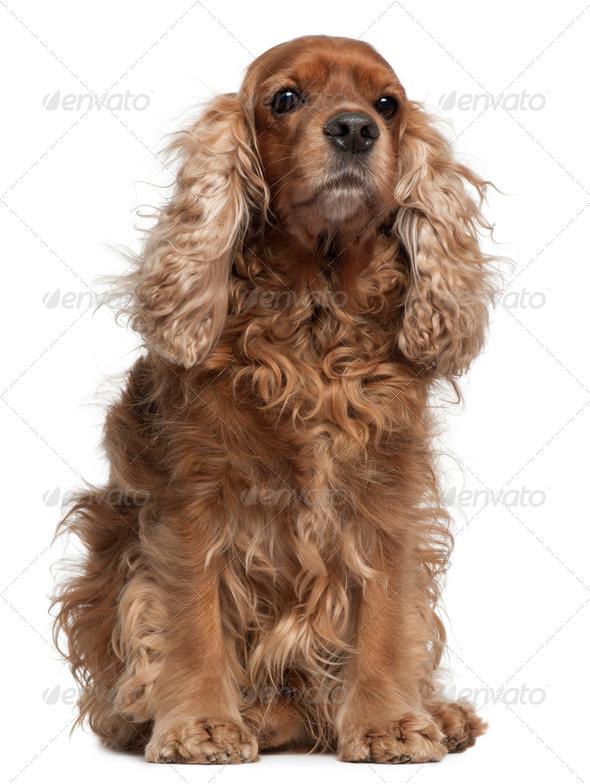 English Cocker Spaniel with windblown hair, 8 years old, sitting in front of white background - Stock Photo - Images
