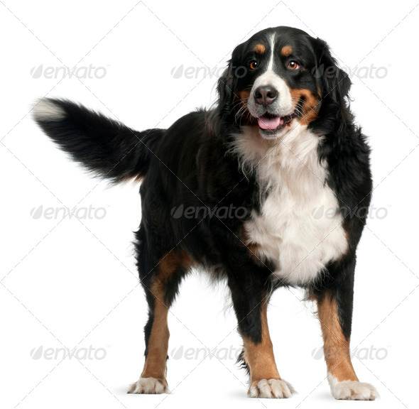 Bernese mountain dog, 4 years old, standing in front of white background - Stock Photo - Images