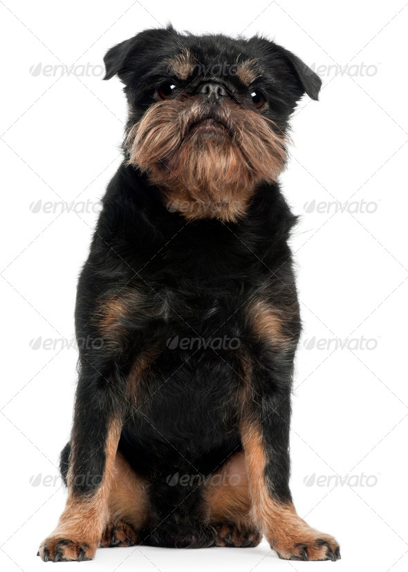 Griffon Bruxellois, 5 years old, sitting in front of white background - Stock Photo - Images