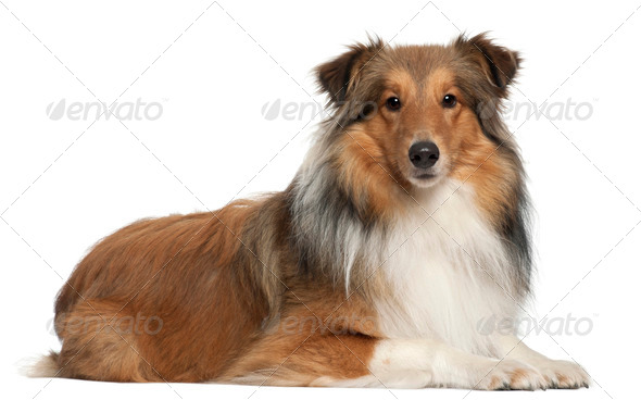 Shetland Shepherd dog, 5 years old, lying in front of white background - Stock Photo - Images