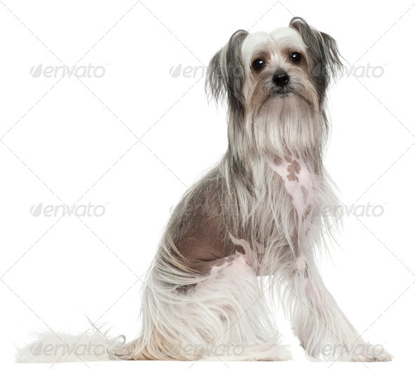 Chinese Crested Dog, 11 months old, sitting in front of white background - Stock Photo - Images