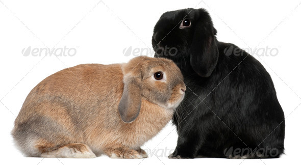 Rabbits, 4 and 6 months old, in front of white background - Stock Photo - Images
