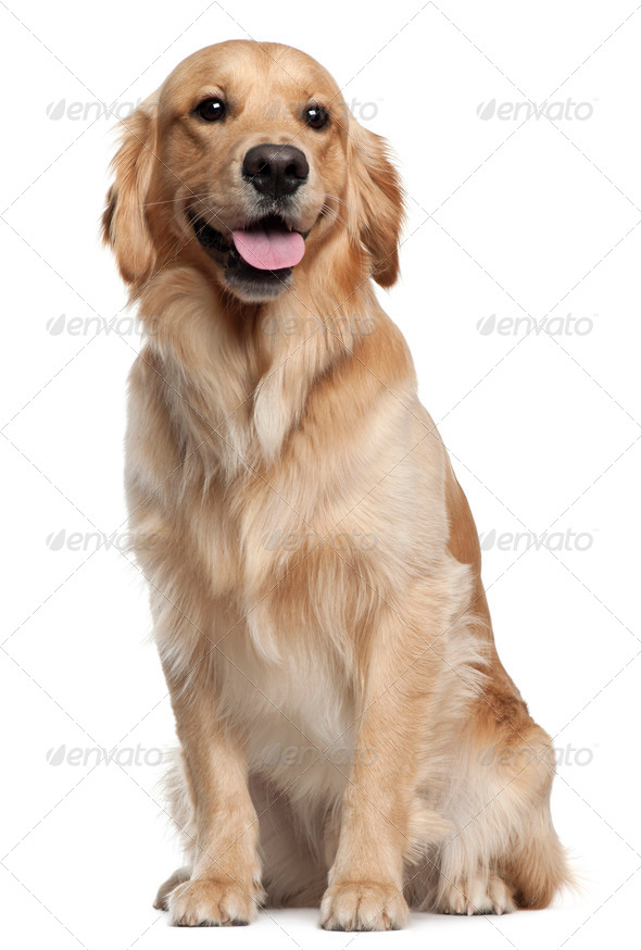 Golden Retriever, 1 and a half years old, sitting in front of white background - Stock Photo - Images