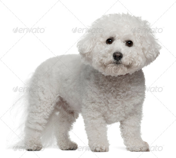 Bichon Frise, 5 years old, standing in front of white background - Stock Photo - Images