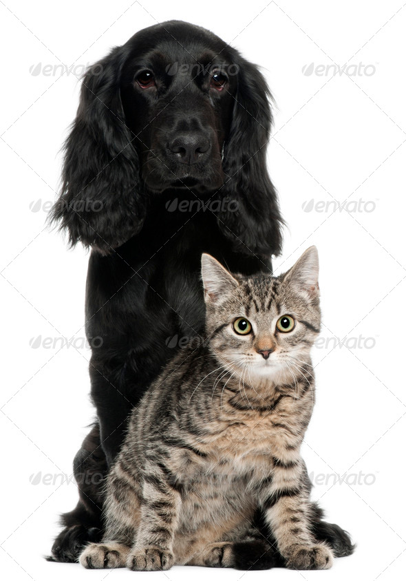 Cocker Spaniel and European Cat, 5 and 4 years old, sitting in front of white background - Stock Photo - Images