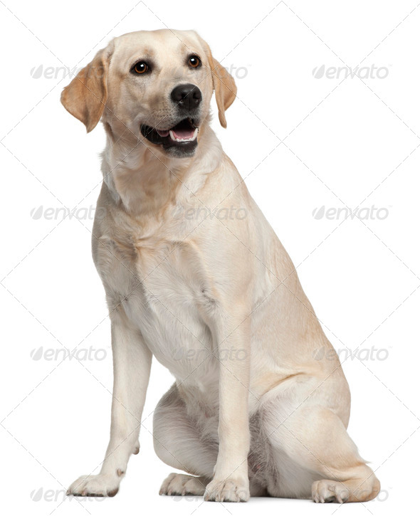 Labrador, 1 year old, sitting in front of white background - Stock Photo - Images