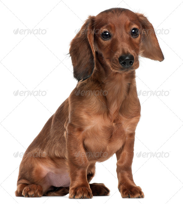 Dachshund, 5 months old, sitting in front of white background - Stock Photo - Images