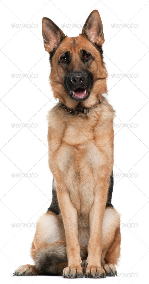 German Shepherd, 14 months old, sitting in front of white background - Stock Photo - Images