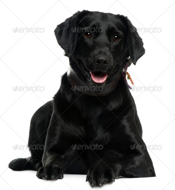 Labrador, 2 years old, lying in front of white background - Stock Photo - Images