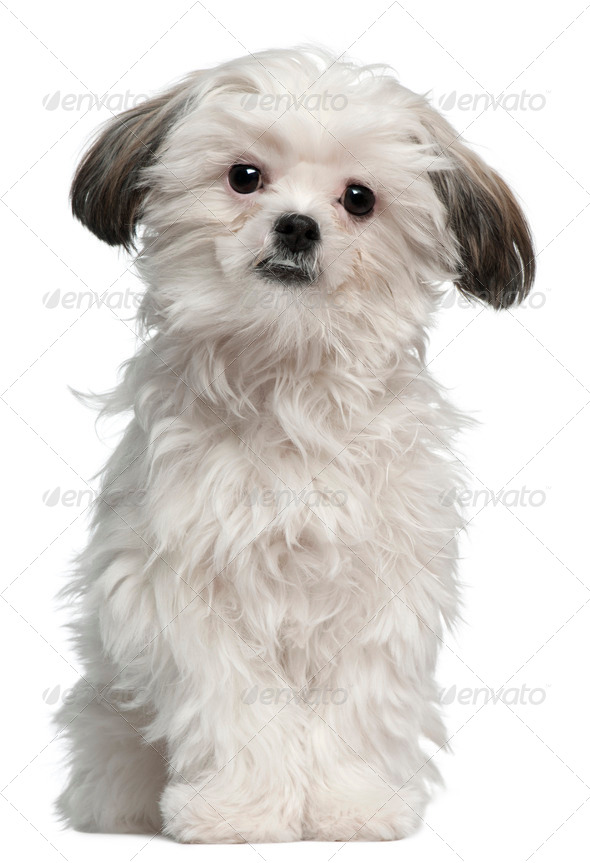 Lhasa Apso, 7 months old, standing in front of white background - Stock Photo - Images