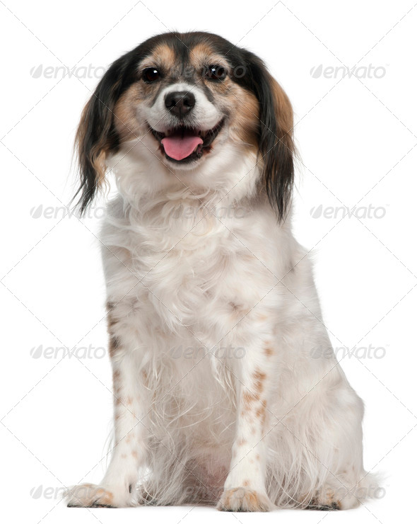 Papillon, 7 years old, sitting in front of white background - Stock Photo - Images