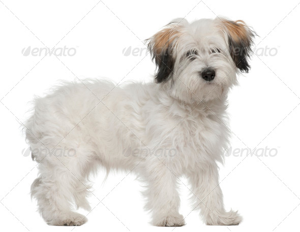Boomer, 6 months old, standing in front of white background - Stock Photo - Images