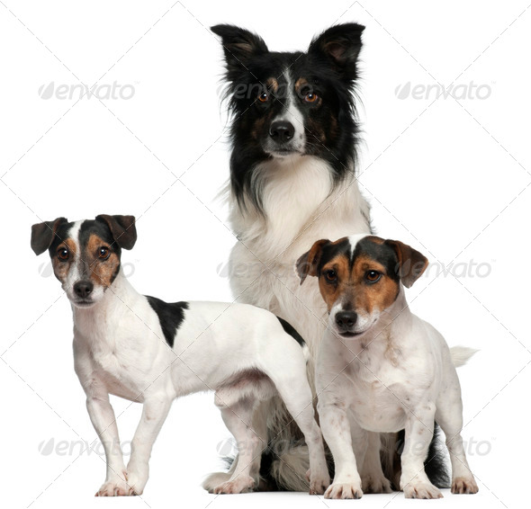 Border Collie  and Jack Russells, 7, 5, and 3 years old, in front of white background - Stock Photo - Images