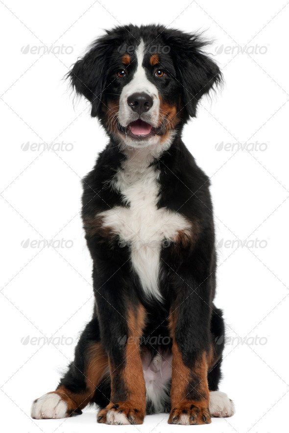 Bernese Mountain Dog, 5 months old, sitting in front of white background - Stock Photo - Images