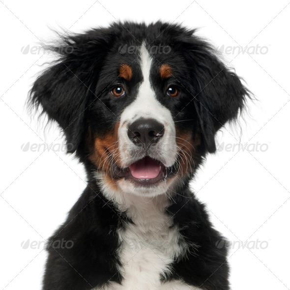 Bernese Mountain Dog, 5 months old, in front of white background - Stock Photo - Images
