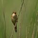 Marsh warbler (Acrocephalus palustris) - PhotoDune Item for Sale