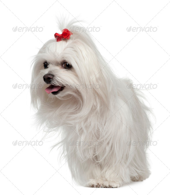 Maltese, 3 years old, standing in front of white background - Stock Photo - Images