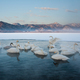 Cygnus cygnus, Whooper swans, on a frozen lake in Hokkaido. - PhotoDune Item for Sale