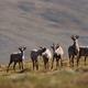 Caribou, Arctic National Wildlife Refuge, Alaska, USA - PhotoDune Item for Sale