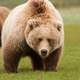 Brown bear, Katmai National Park, Alaska, USA - PhotoDune Item for Sale