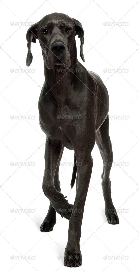 Great Dane, 15 months old, walking in front of white background - Stock Photo - Images