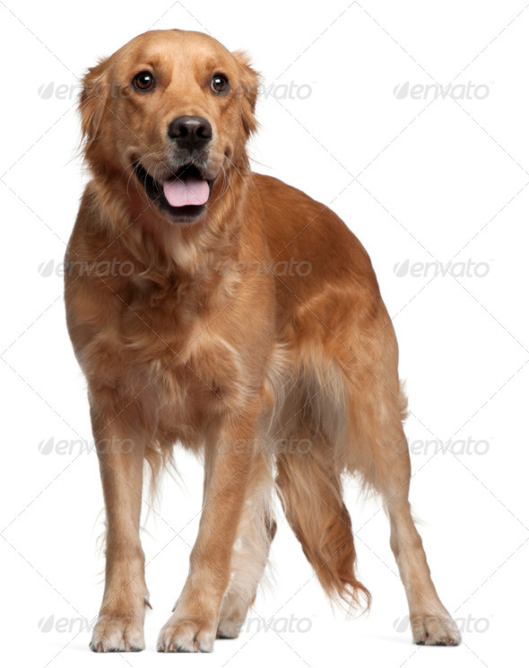 Golden Retriever, 15 months old, standing in front of white background - Stock Photo - Images