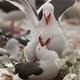 Dolphin gulls, Falkland Islands - PhotoDune Item for Sale