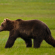 A brown bear on grassland at Katmai National park. - PhotoDune Item for Sale
