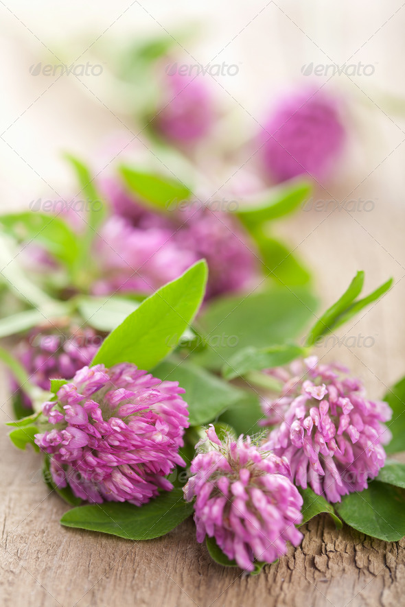 pink clover flower - Stock Photo - Images