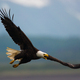 Bald eagle in flight, Katmai National Park, Alaska, USA - PhotoDune Item for Sale