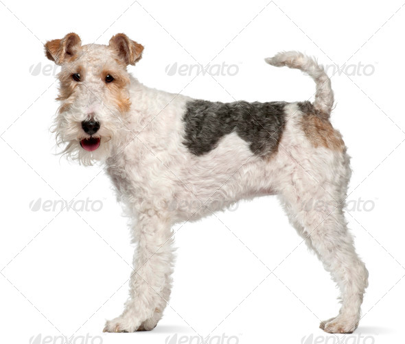 Fox terrier, 1 year old, standing in front of white background - Stock Photo - Images