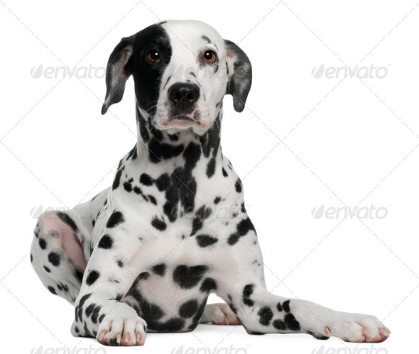 Dalmatian, 2 years old, lying in front of white background - Stock Photo - Images
