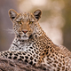 Leopard, Chobe National Park, Botswana - PhotoDune Item for Sale