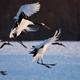 Japanese cranes, Hokkaido, Japan - PhotoDune Item for Sale