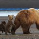 Brown bear sow and cubs, Lake Clark National Park, Alaska, USA - PhotoDune Item for Sale