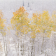 A forest of aspen trees with striking yellow and red autumn foliage, Snow on the ground - PhotoDune Item for Sale
