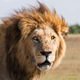 African lion male, Botswana - PhotoDune Item for Sale