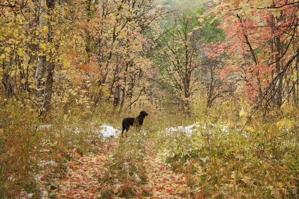 A black Labrador retriever dog, in maple tree woodland in winter - Stock Photo - Images