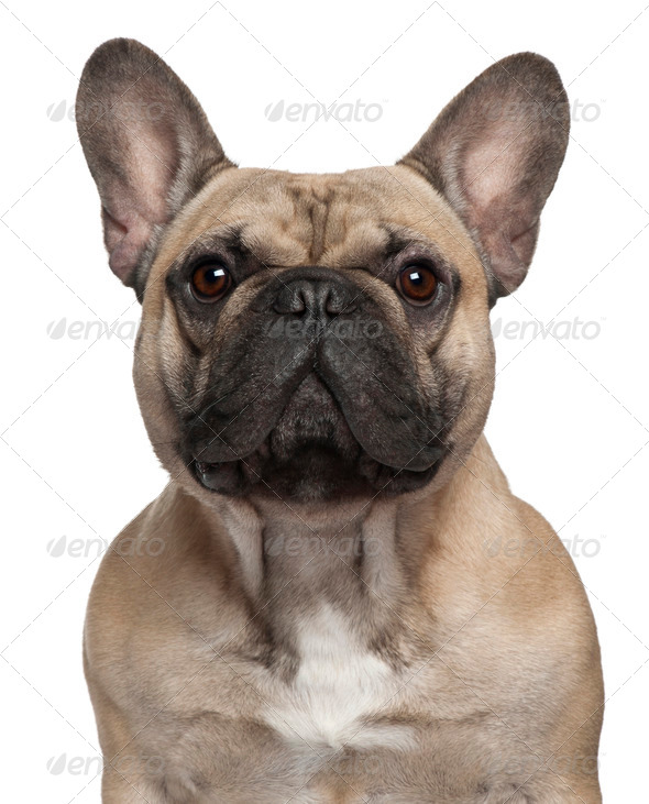 Close-up of French Bulldog, 2 Years old, in front of white background - Stock Photo - Images