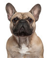 Close-up of French Bulldog, 2 Years old, in front of white background
