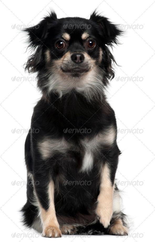 Chihuahua, 1 year old, sitting in front of white background - Stock Photo - Images