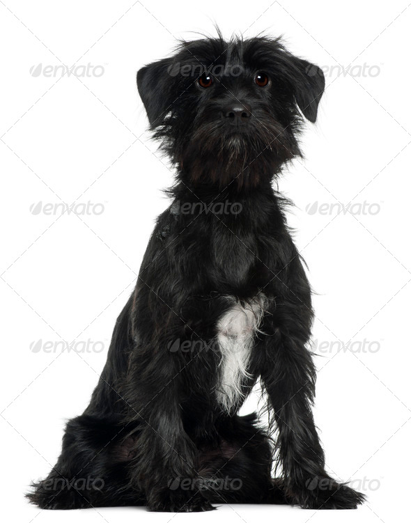 Cross Breed dog, 1 year old, sitting in front of white background - Stock Photo - Images