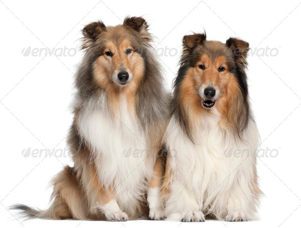 Border Collies, 6 and 7 years old, sitting in front of white background - Stock Photo - Images