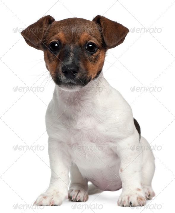 Jack Russell, 3 months old, sitting in front of white background - Stock Photo - Images
