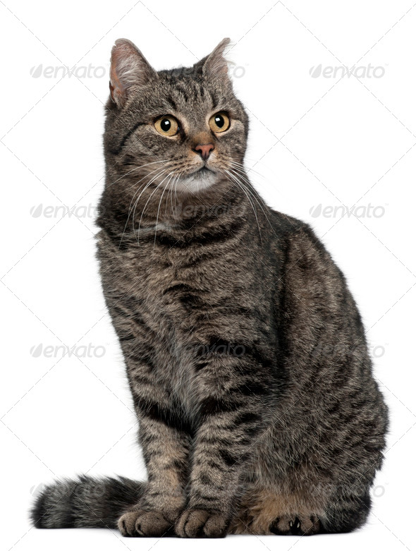 Cross breed cat, 7 months old, sitting in front of white background - Stock Photo - Images