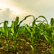 Rows of young corn growing on a field - PhotoDune Item for Sale