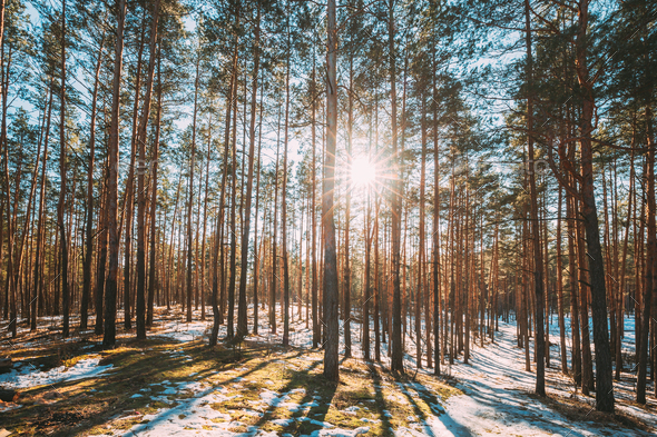 Beautiful Sunset Sun Sunshine In Sunny Early Spring Coniferous Forest. Sunlight Sun Rays Shine - Stock Photo - Images