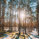 Beautiful Sunset Sun Sunshine In Sunny Early Spring Coniferous Forest. Sunlight Sun Rays Shine - PhotoDune Item for Sale